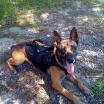 Military canine Remco